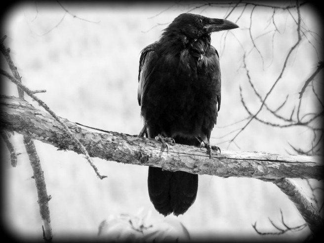 Photo of crow on branch